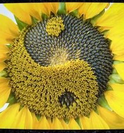 Tablou Feng Shui cu Yin-Yang si floarea soarelui